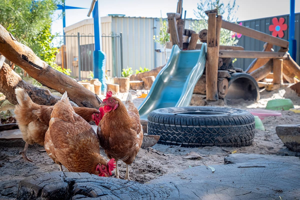 Free range chickens in childcare play area and sandpit